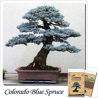 Mayan Seeds LLC Bonsai Colorado Blue Spruce (Picea pungens) seeds 50pcs Evergreen tree