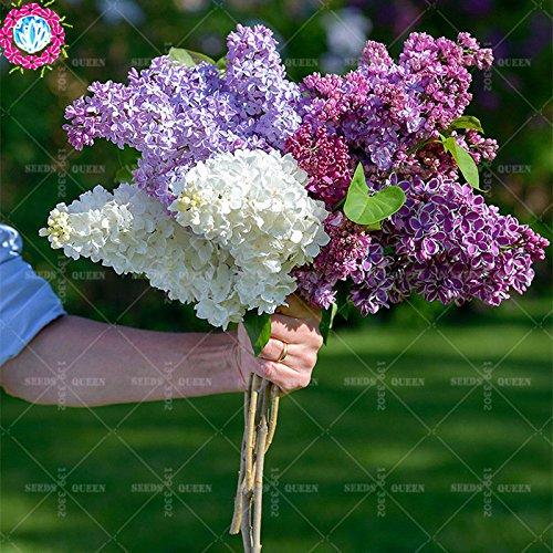 100 pcs/sac couleur Graines lilas japonais (très odorants) graines de fleurs de clou de girofle bonsaï comme plante cadeau pour la maison et le jardin grandir facile 10