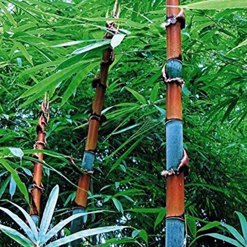 Auntwhale 100pcs graines de bambou
