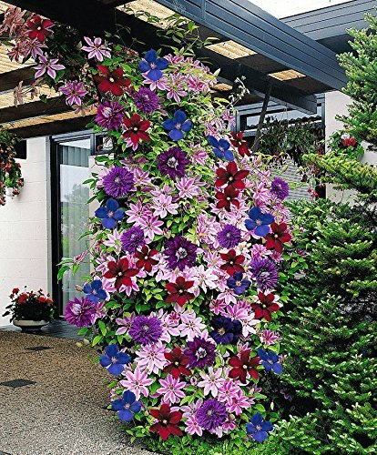 Clematis ~Mixed Colors~ 20Seeds Wonderful Large Blooms 20+ Perennial Vine Seeds
