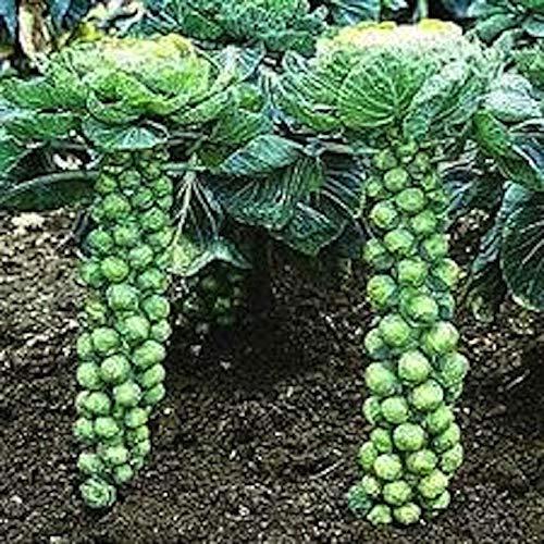 Portal Cool Samen Paket: Organisch angebautes Long Island mit über 500 Jahren vertem Rosenkohl-Gemüsegarten