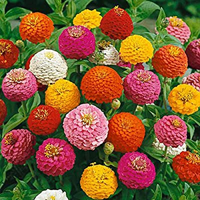 Lilliput Zinnia Mix Flower Seeds, 500+ Premium Seeds,Fantastic Addition to Your Home Flower Garden!, (Isla's Garden Seeds) 70-80% Germination, Highest Quality Seeds