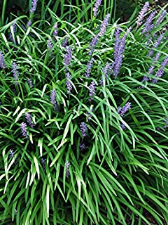 Perennial Farm Marketplace Liriope m. 'Big Blue' ((Lilyturf) Ornamental Grass, Size-#1 Container', Lilac Colored Flowers