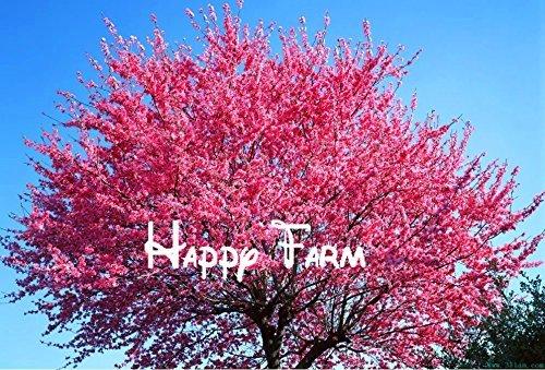 Vente chaude rouge graines de sakura cerise oriental graines de fleurs Bonsai plantes Semences pour la maison et le jardin - 100 graines / sac