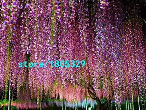Bloom Green Co. Vente chaude Rare Violet Wisteria Graines de fleurs pour la maison et bricolage amp; plante de jardin Wisteria sinensis (SIMS) semences Sweet 10PCS: 4