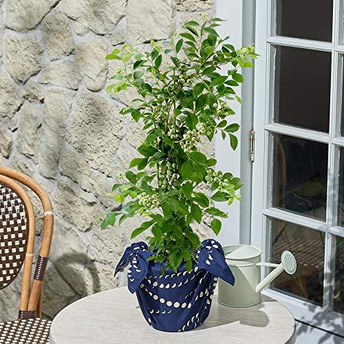 日比谷花壇 父の日 果樹「ブルーベリー」 花 プレゼント ギフト 父の日カード付き