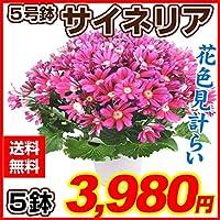 国華園 鉢花 花色見計いサイネリア5号鉢 5鉢セット 21年春商品
