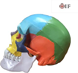 Skull Model,OIF Human Skull Map Included Full Set Teeth Removable Partitioned Skull Model Christmas Halloween Decorated