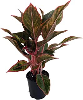 Siam Aurora Chinese Evergreen Plant - Aglaonema - Grows in Dim Light - 5