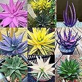 Yukio Samenhhaus -'Lilie der Wüste' Farbig 100 Korn Echte Aloe Vera (Aloe barbadensis) Saatgut Erste-Hilfe-Pflanze, wundersam heilende Kräfte