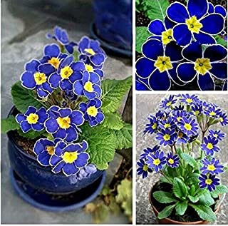 100pcs Rare Blue Evening Primrose Seeds Easy to Plant Garden Decor Flower