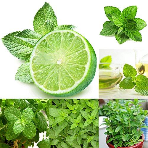 Zhouba grüne Minze Samen für Gartenpflanze, 500 Stück grüne Minze Mentha Kräuter Grün Haus Garten Bonsai-Pflanzen-Dekor von Zhouba