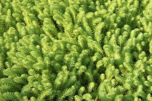 Wasserpflanzen Wolff - Myriophyllum brasiliense - Tausendblatt - Papageienfeder
