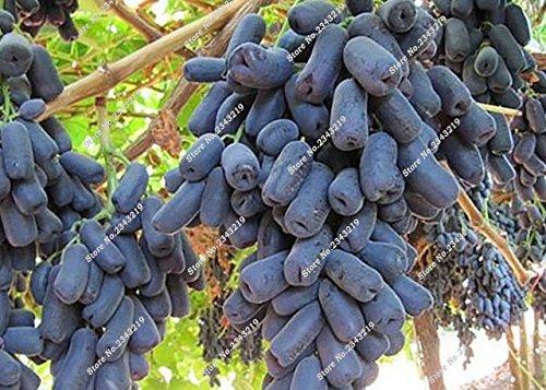 Bonsai Finger de pépins de raisin délicieux plantes en pot bio pour plantes ornementales Maison et jardin Can comestible sain Fruit semences 60 Pcs 4