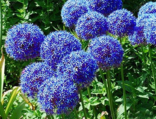 30pcs/sac géant oignon (Allium giganteum) graine rare bonsaïs fleur belle fleur plantes en pot jardin maison livraison gratuite kaki foncé