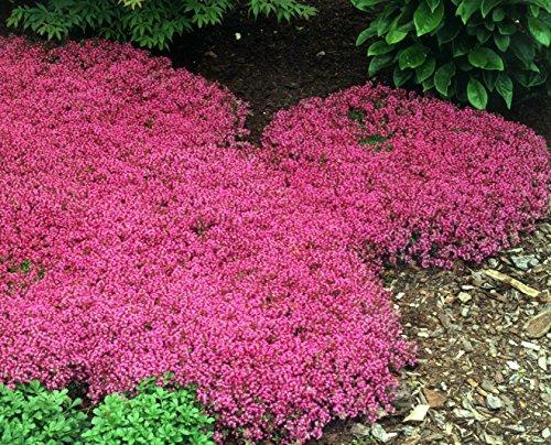 Erbstück 100+ Perennial Flower + Bodenbewuchs Seeds - Kriechender Thymian -