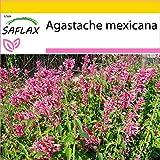 SAFLAX - Set de cultivo - Toronjil morado - 50 semillas - Con mini-invernadero, sustrato de cultivo y 2 maceteros - Agastache mexicana