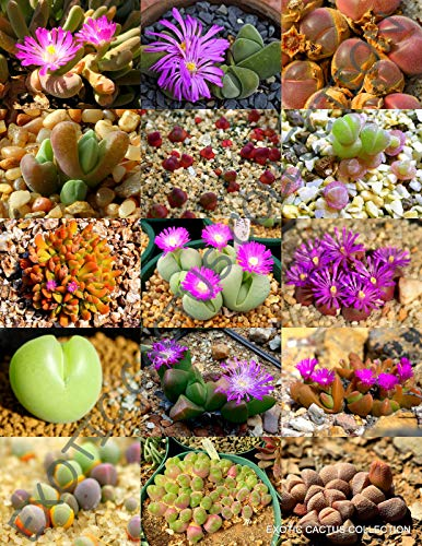 Color GIBBAEUM Mix Succulent Cactus Mixed Living Stone Rock Plant Seed 100 Seeds