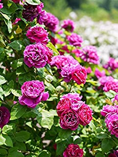 100 Pcs Climbing Colorful Rose Flowers Seeds for Garden Home Balcony Fences Yard Decoration Flowers Plants (Rosa