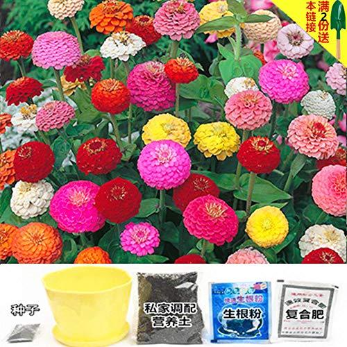 B/H Plantes ornementales,Graine parfumée Vivace,Graine de Fleur Cosmos Morning Glory Sun Flower-E_Seed 100