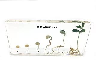 Bean Germination in Acrylic Block Lifecyle of Bean Biology Science Classroom Specimens (Bean Germination)
