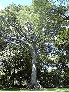 Kapok (Silk Cotton Tree), Ceiba pentandra, Tree Seeds (Fast, Tropical) 20 seeds