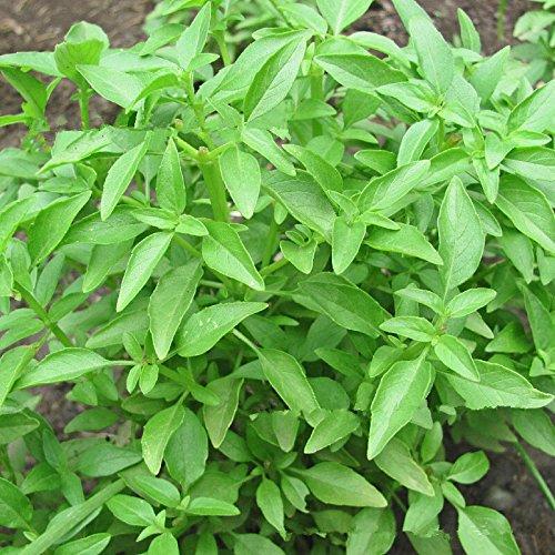 50g / Paquet Grande feuille de basilic, plantes bonsaï de jardin Fleur Basil Herb Graines
