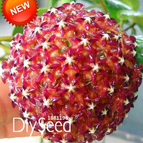 Nouvelle arrivée! Hoya Graines, fleurs en pot Bonsai plantes Hoya Seed, Orchid Seed DIY jardin 100 Pcs / Pack, # G7TPU5