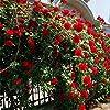 Semi di Rosa - Semi di Rosa rampicante, Rosa Multiflora, Decorazione domestica perenne fiore profumato, 100 PZ (Color : Red) #3
