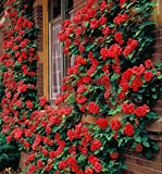 Climbing Rose Flower Seeds -100 Seeds Beautiful Flower Plant in Home Outdoor