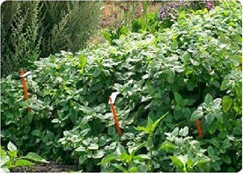 Just Seed???herbes???m?lisse???Melissa officinalis???25?G Seeds???Bulk Lot