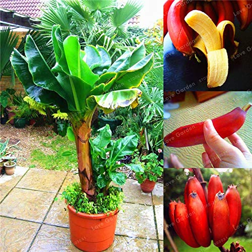 Bloom Green Co. 100 Pcs Banana Bonsai Fruit Bonsai Rare Big Hainan Pink Banana Bonsai Musa Velutina Dwarf Pink Banana Bonsai Potted plant