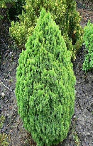 Zwerg Zuckerhutfichte - Picea glauca Alberta Globe - verschiedene Größen (30-40cm - 3 Ltr.)