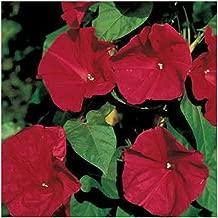 3 Business Sasha Each Pack 30 Seed RED Cypress Vine Morning Glory Vine Hummingbird Vine