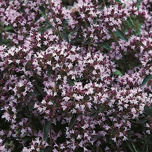 Suffolk Herbes - Pot marjolaine bio - 200 graines