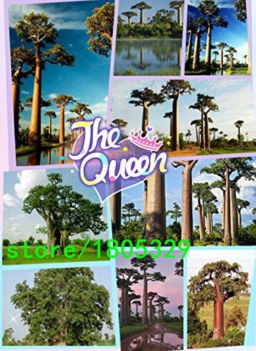 100 Semillas de árboles de hoja caduca de semillas baobab Para el hogar y jardín
