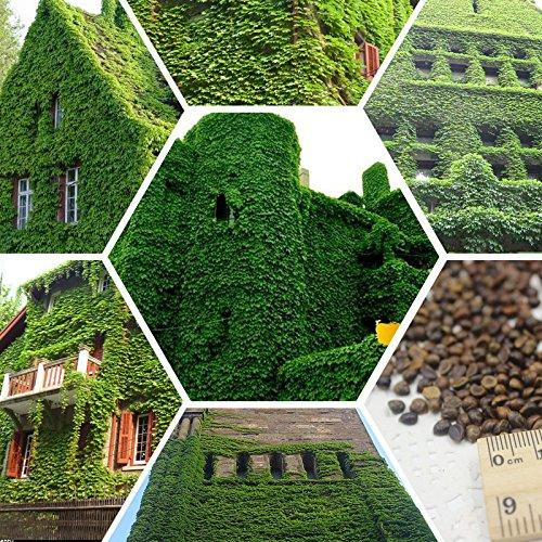 100% vrai graines creepers extérieur vert boston parthenocissus tricuspidata Bonsai usine Livraison gratuite 100 pcs/sac