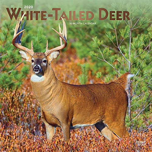 White Tailed Deer 2020 12 x 12 Inch Monthly Square Wall Calendar with Foil Stamped Cover, Wildlife Animals Forest Hunting