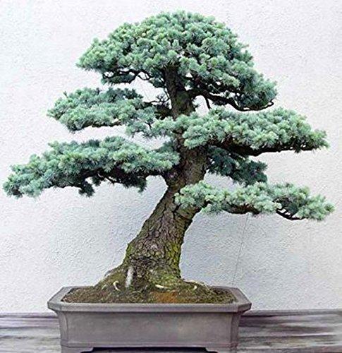 10 pcs/cèdre sac Graines sortes de graines d'arbres bonsaï vert usine de cèdre du Japon pour les plantes ligneuses vivaces droites de jardin à domicile 2