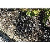 Ophiopogon planiscapus 'Nigrescens' - Schwarzer Schlangenbart 'Nigrescens' - 9cm Topf