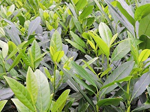 1 Stück Kirschlorbeer 'Herbergii´- (Prunus laurocerasus 'Herbergii'), Containerware 40-60 cm
