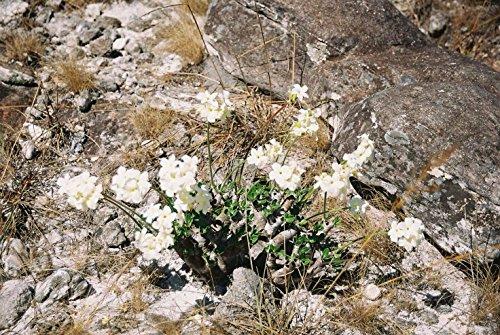【多肉植物/種子】Pachypodium Eburneum★パキポディウム・エブレネウム★白肌と白花の希少種◆5粒♪ [並行輸入品]