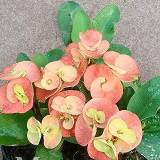 Caiuet 100Pcs Rare Euphorbia Milii Hybrids Plant Seeds Potted Bonsai Plants for Home Garden Flowers