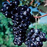 Pixies Gardens Concord Seedless Grape is Grown for Its Medium-Size Clusters of Round Blue-Black Grapes Good for Jellies Juices Sweet White Red and Rose Wines (1 Gallon Potted)