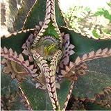 Kalanchoe daigremontiana - 1Ud. - Maceta de 17cm