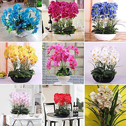 Bemall - graines de orchidées phalaenopsis beau jardin Bonsai balcon fleur graines d'orchidée papillon Accueil Graines de plantes Marque Nouveau!