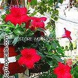 Shopmeeko Neue Sementes 50 stücke Dipladenia Sanderi bonsai Eine große Schöne Blume Übertopf Hausgarten Hängende Blumen Dekoration pflanzen: Rot