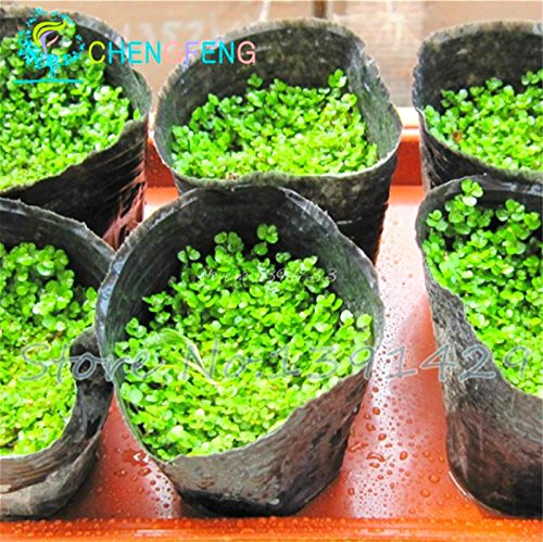 200 Graines Particules Rockery Herbe Escalade fraîche Vert traditionnel Bonsai Natural Plant Seed Magic Garden Flower