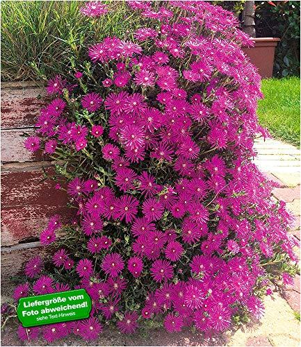 BALDUR Garten Delosperma Cooperi, 3 Pflanzen winterhart Eisblumen Steingarten