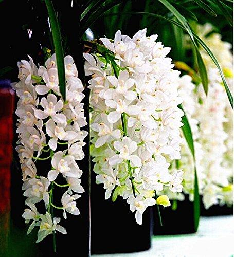 100 pcs fleurs décoratives chinoises cymbidium orchidées graines balcon bonsaï bonsaï fleurs de jardin d'orchidées de semences rares